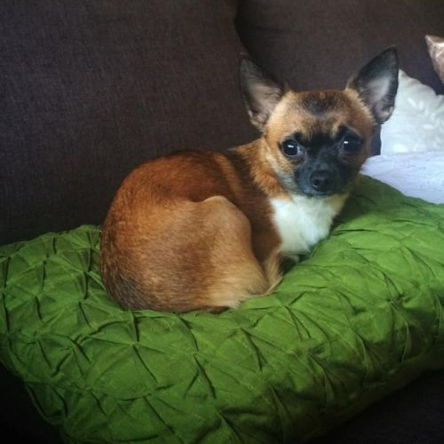 LOST: Milly http://ow.ly/FSsdI Female, Tan, Chihuahua #Yarraville #Melbourne VIC #LostDogYarraville #LostDogMelbourne #LostPetFinders
