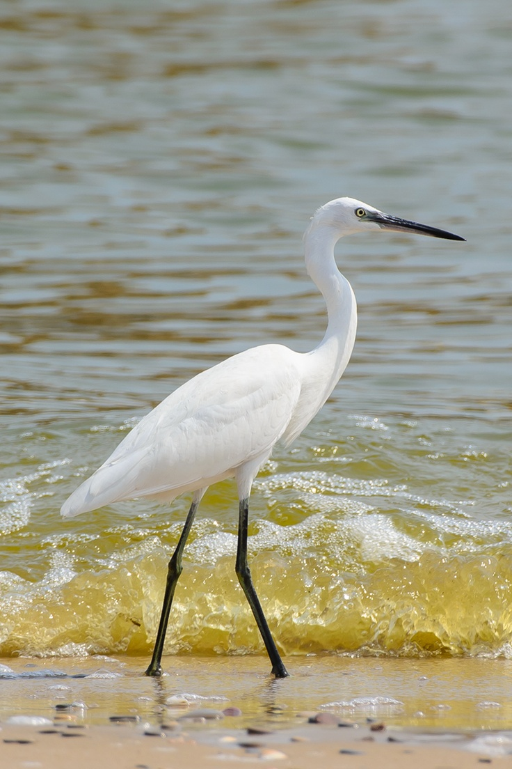 Little egret on the beach of the National park of Albufera.