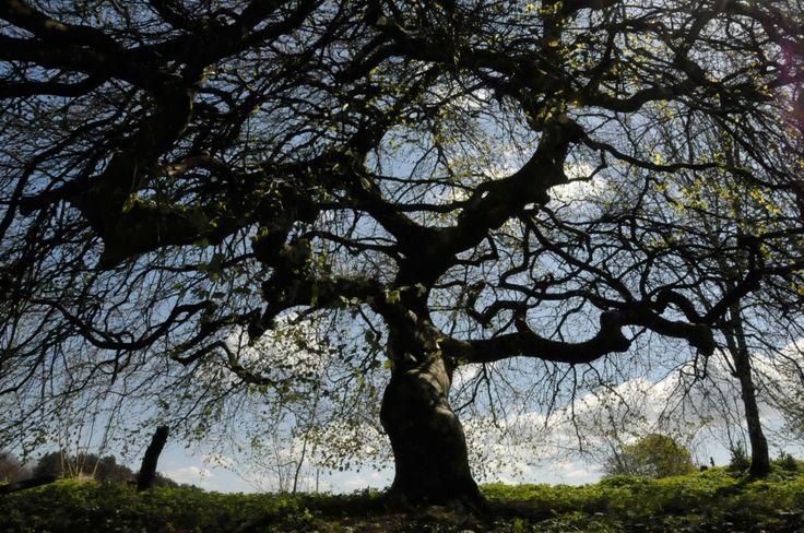 Mäktigt träd på Östarp. Foto: Jessica Ljung/Kulturen