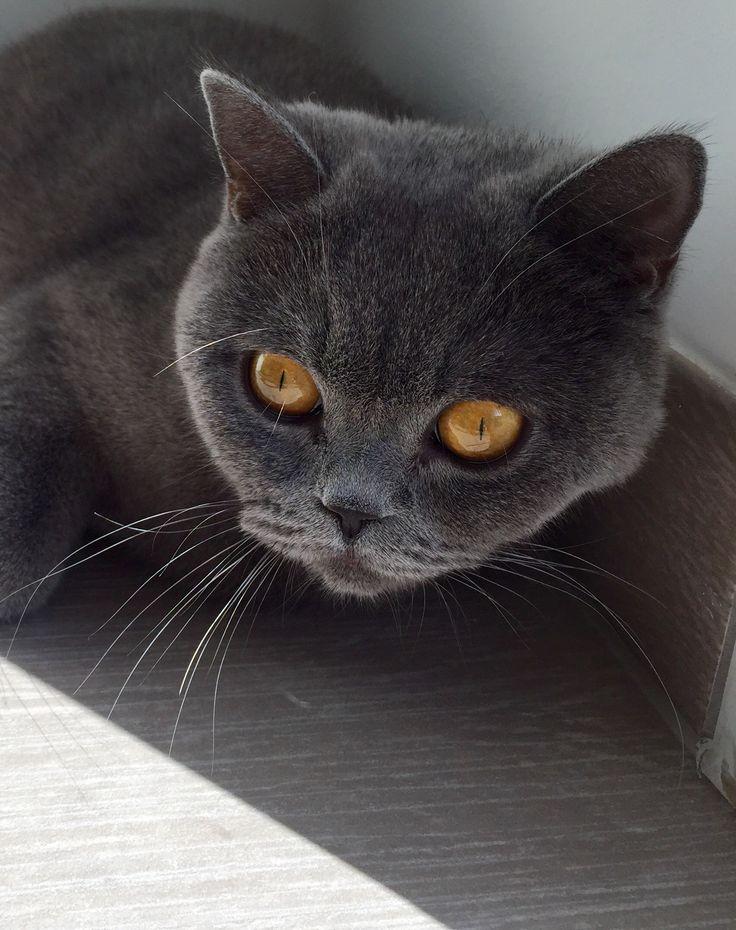 #cat #britishshorthair