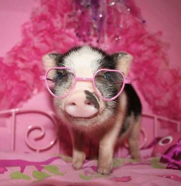 Image detail for -Mini Teacup Pig - Blue-Eyed - Micro Pigs - Miniature Piggies ...