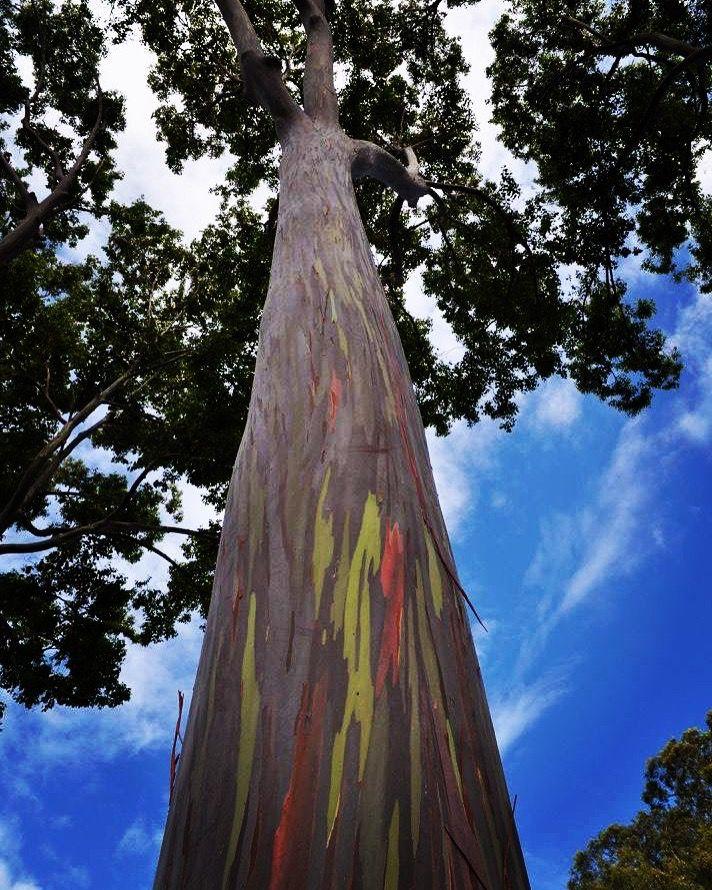 Rainbow Eucalyptus tree Hawaii