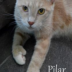 Pictures of Pilar a Hemingway/Polydactyl for adoption in Mount Pleasant, SC who needs a loving home.