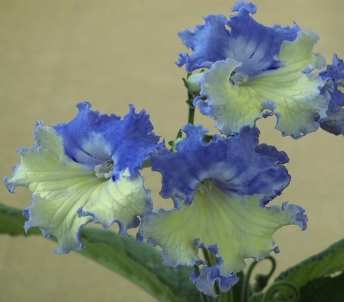 Verso Streptocarpus Plant in Bloom   eBay  ~  Streptocarpus 'Verso' was introduced by Piotr Kleszczynski in Poland. The heavily ruffled flowers have a creamy yellow lower lip and a lavender-blue upper lip