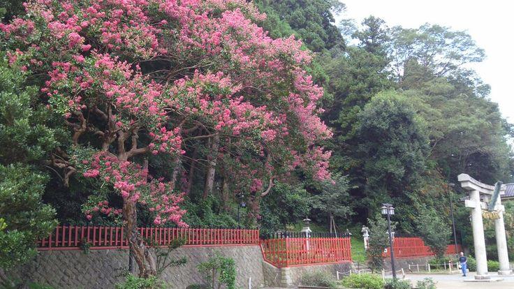 百日紅 塩釜神社