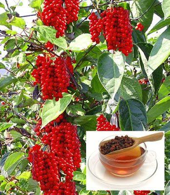 Geneeskrachtige kruiden – Schisandra Chinensis: een supergezond besje De naam zegt het al: dit besje is van oorsprong afkomstig uit China, maar is inmiddels gewoon te koop bij Nederlandse tuincentra als decoratieve klimplant voor in de tuin. Hij draagt witte bloemen en geeft na de bloei een grote hoeveelheid rode bessen, die rijk zijn aan vitaminen en mineralen. Het is een besje met een lange geschiedenis in de kruidengeneeskunde. Bijzonder aan de vrucht is dat het alle vijf smaken