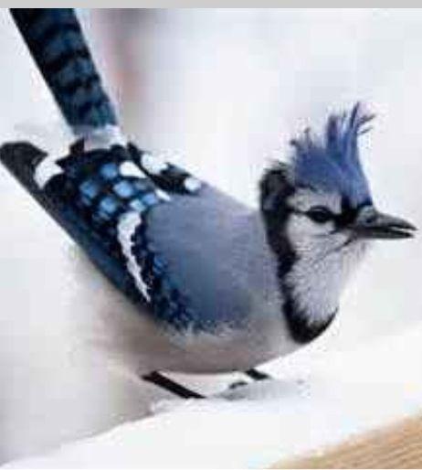 Flying Blue Jay Tattoo | www.imgkid.com - The Image Kid ...