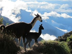 Inca Trail Day 2 Mama and baby Llama - save 33% and book with RTWme http://rtwme.com/machu-picchu-4-day-inca-trail/