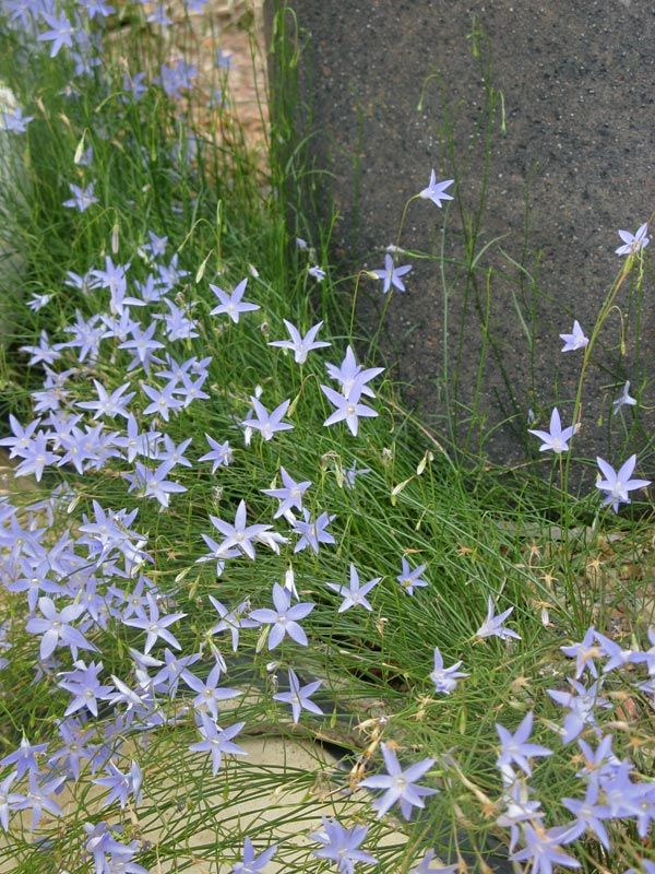 Wahlenbergia communis / Native Bluebell. Tufted or open perennial herb growing to a height of 40cm and spreading 30cm. Blue bell shaped flower on long stems in summer.