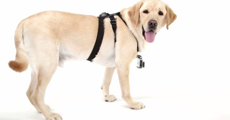 The newest #GoPro accessory will allow users to see the world from a #dog's-eye view.