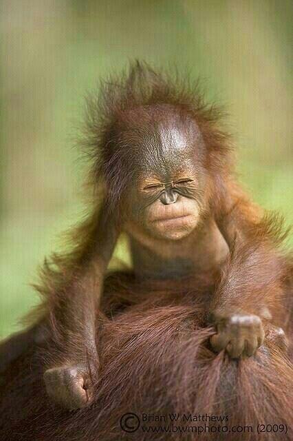 Baby orangatan ©Brian W. Matthews