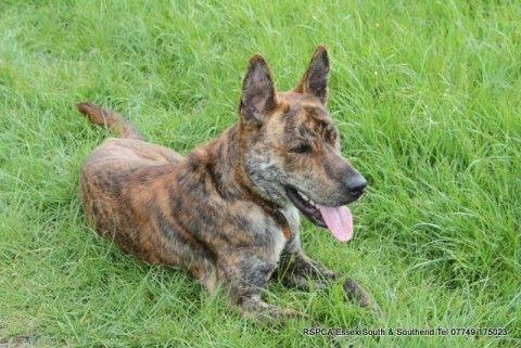 German Shepherd x Bull Terrier | Weird Combo!! Lol | Pinterest