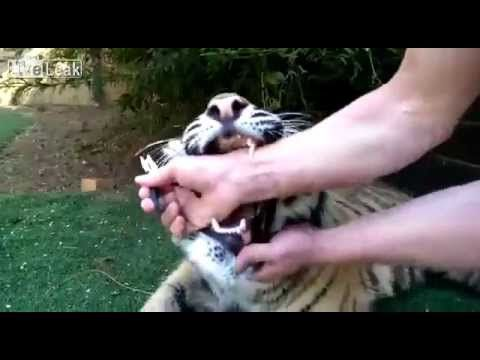 Tiger cub dentist - YouTube