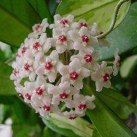 A viaszvirág (Hoya carnosa) télen, nyáron világos helyre vágyik. Trópusi származása miatt egyenletes meleget, 18–25°C-ot igényel, de ennél magasabb hőmérsékleten is