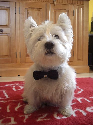 West Highland White Terrier in a Bow Tie Oh my heart - must make one for Jack. Bow Ties are cool!