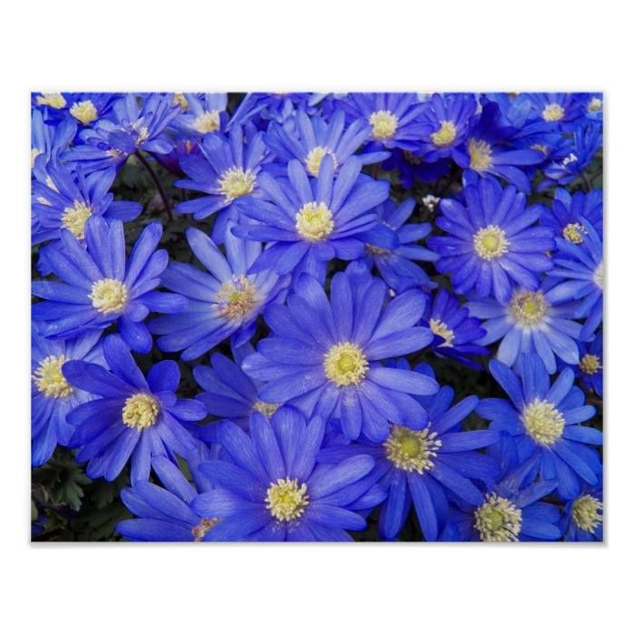 Customizable #Anemone#Flowers #Anemone#Flowers#Image #Blue#Blossoms #Blue#Flowers #Botanicals #Feminine #Flora #Floral #Floral#Photo #Flower #Flower#Petals #Flower#Photo #Flowers #Girly #Nature #Photographic#Image #Photography #Seasonal#Flowers #Spring#Flowers #Wind#Flowers Blue Anemones Floral Poster available WorldWide on http://bit.ly/2gjjv6J