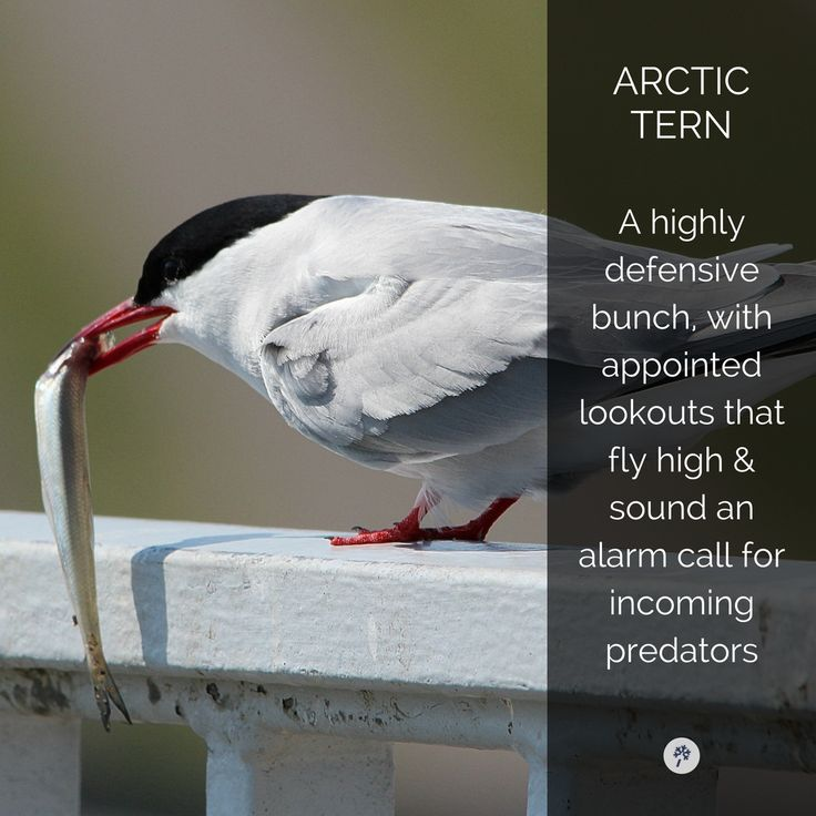 This #Arctic #Tern is #beautiful! Explore #Birds of #Iceland with www.tour.is! Tag your friends!