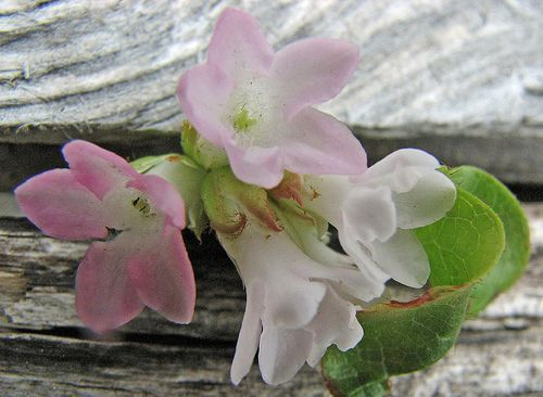 The sweet smelling Mayflower, Nova Scotia's floral emblem.  reminds me of picking Mayflowers with my Mom.