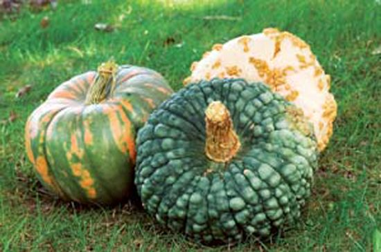 There are lots of wonderful heirloom pumpkin varieties that are superior in flavor and appearance to the same old orange globes found everywhere in the fall: It's a shame we don't see more of them.