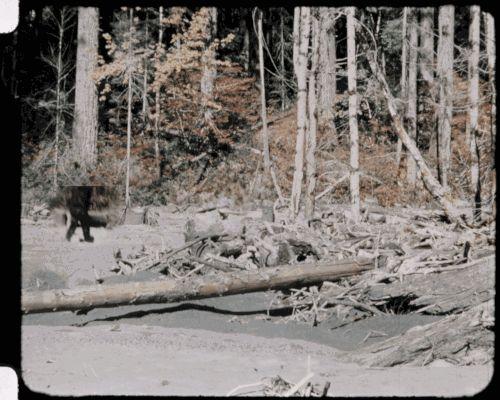 Stabilized Bigfoot footage