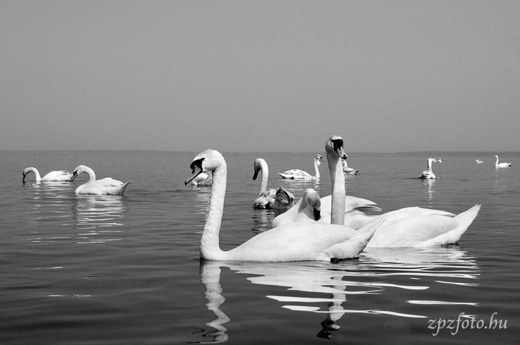 Swans of Lake Balaton
