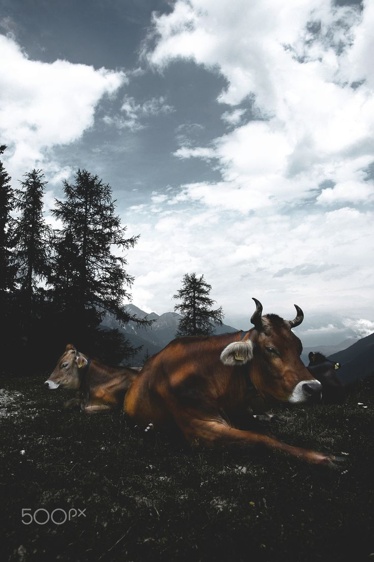 Cow cows - Chewing cows in alpine area