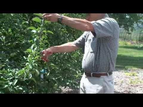 Nice Summer Apple Tree Pruning YouTube