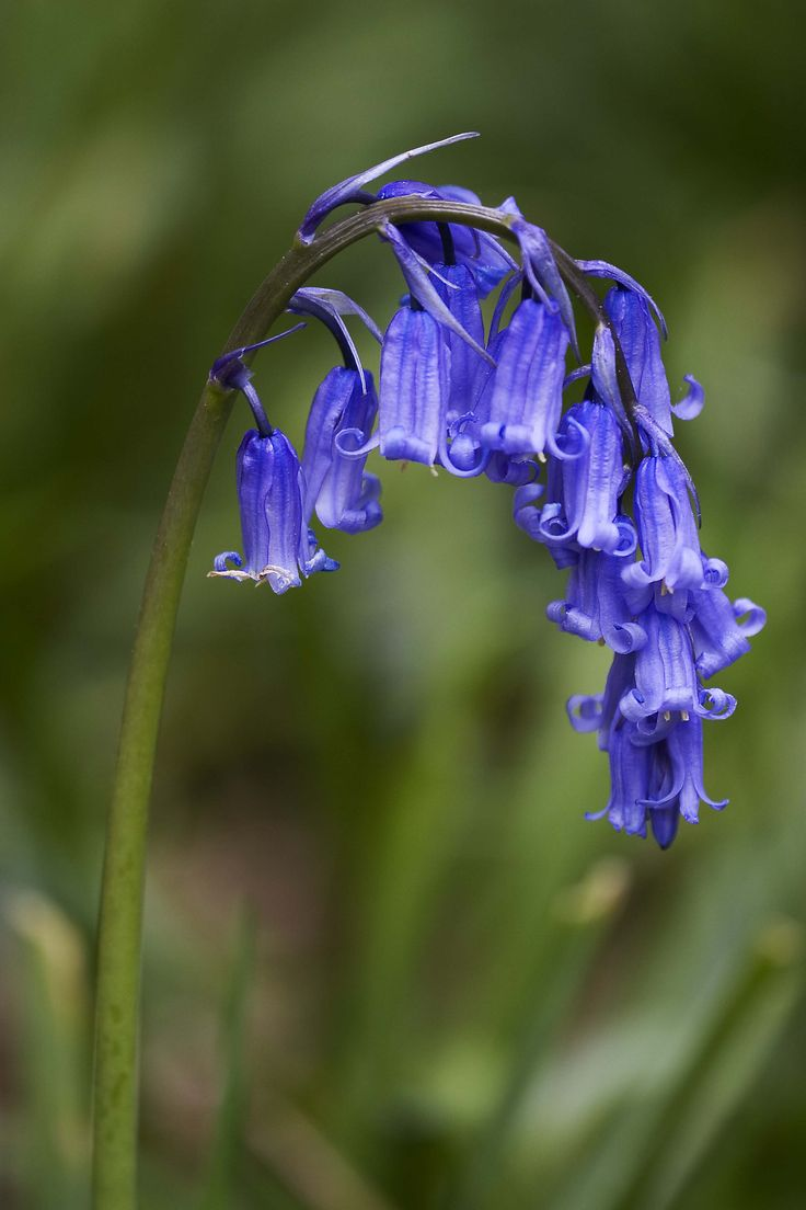Stock photo a cluster of blue bell like flowers in a summer garden - Bluebells