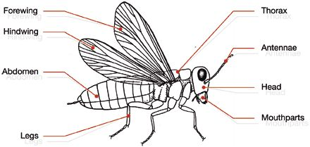 insect body parts diagram google search insects. Black Bedroom Furniture Sets. Home Design Ideas