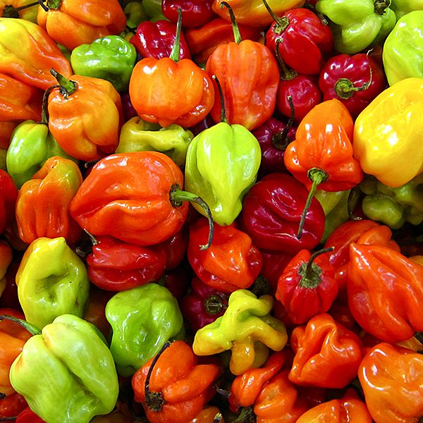 Jamaican Hot Peppers. 100,000 - 350,000 Scoville Units. Scotch Bonnet's are brightly colored chile peppers; these Jamaican hot chiles are typically red or yellow when fully ripe. They can be eaten fresh by those seeking a high from the fiery burn and are also great for pickling, garnishes, sauces and jerk rubs. The Scotch Bonnet is also known as Boabs Bonnet, Scotty Bons, Bonney peppers, or Caribbean red peppers.