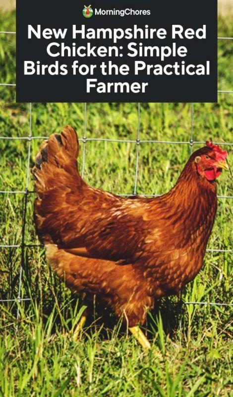 New Hampshire Red Chicken: Einfache Vögel für den praktischen Bauern