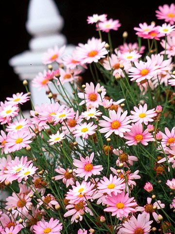 best  pink daisy ideas only on   pink flowers, pink, Beautiful flower