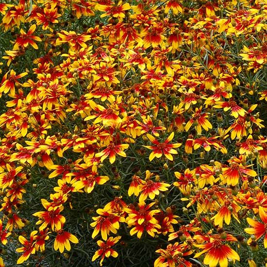 21 Best Images About Coreopsis On Pinterest
