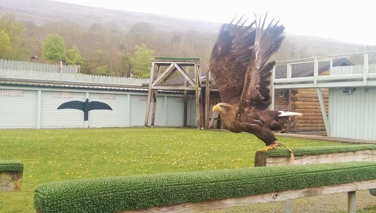Ailwee Caves & Bird of Prey Centre. The beautiful sea eagle Sika.