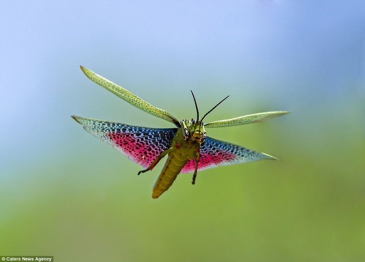 This grasshopper, pictured with it's pink and blue wings outstretched, is unrecognisable i...