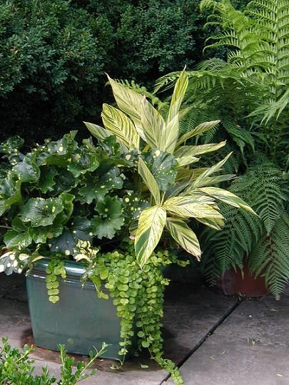 golden variegated ginger, Alpinia zerumbert 'Variegata', together with leopard plant, Farfugium japonicum 'Aureomaculata', its dark green leaves dappled with yellow spots, set of by a trailing veil of yellow creeping Jenny, Lysmachia nummularia 'Aurea'. Elegant.