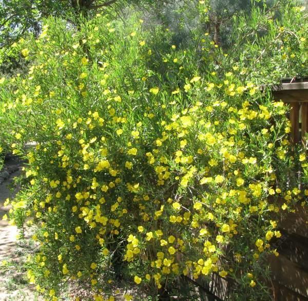 Dendromecon rigida bush poppy an evergreen shrub normally for Tall flowering shrubs
