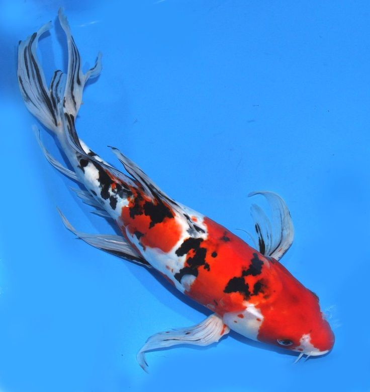 417 Best Images About Koi Fish On Pinterest Zippers
