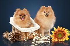 Pomeranian Puppies In Wicker Basket - Download From Over 50 Million High Quality Stock Photos, Images, Vectors. Sign up for FREE today. Image: 21504632