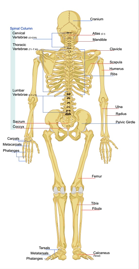 Human Skeleton Printables