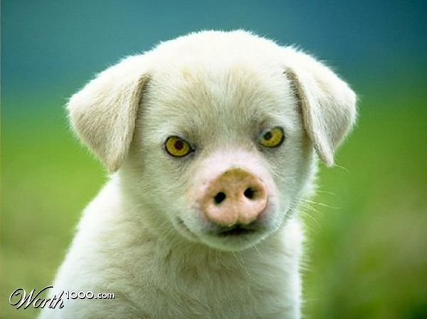 Owl Eyed Pig Puppy - Worth1000 Contests