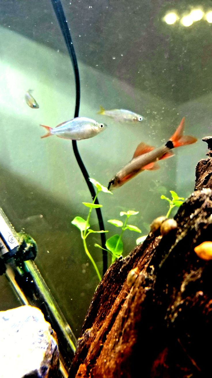 Chinese Rice Fish, Dwarf Australian Rainbow Fish male, Dwarf Australian Rainbow Fish female, Rainbow Shark.(left to right)