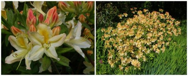 Having always lived on alkaline soil, I am very excited to finally have acid soil, and to be able to grow ericaceous plants such as rhododendrons. The garden has a few large specimens, but I have n…