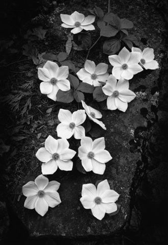 Dogwood Blossoms. Ansel Adams. Photographed in 1938 on a trip to Yosemite with Weston; first printed in 1960.