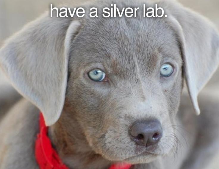 have a silver lab #todo #bucketlist