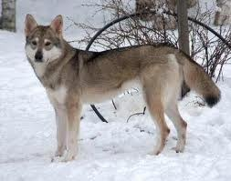 My next puppy will be a Tamaskan