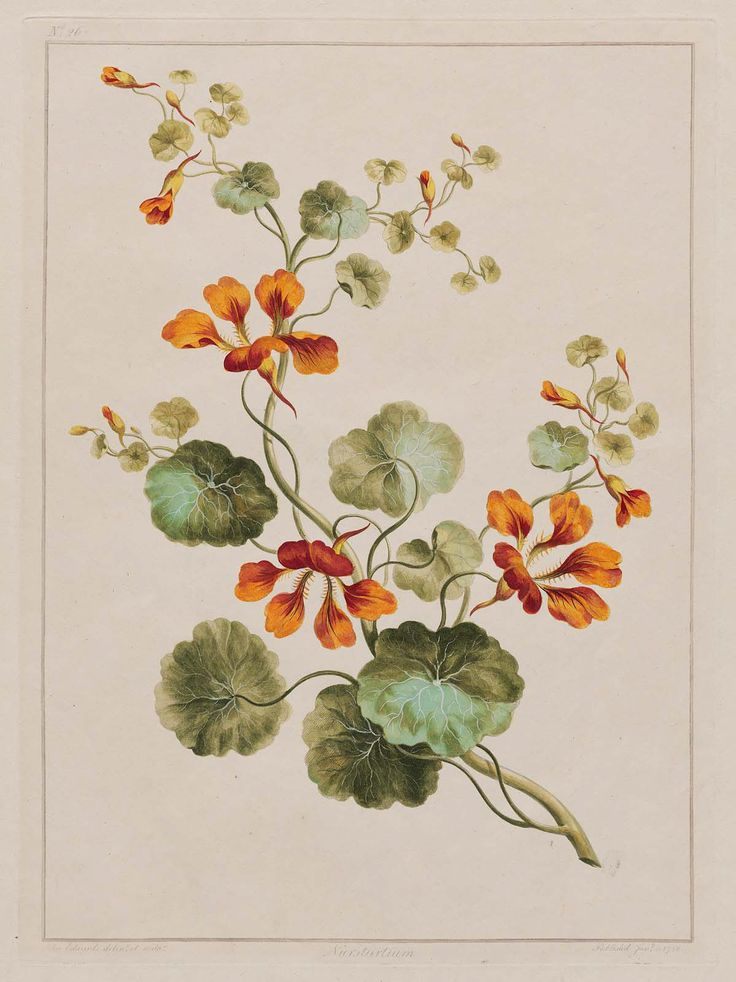 Nasturtium (1788) by John Edwards from 'A Collection of Flowers Drawn After Nature' 1801. Image and text MFA Boston.