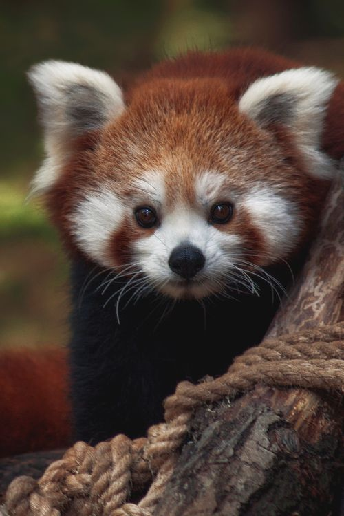 red panda it is said this animal is my spiritual animal ♥♥