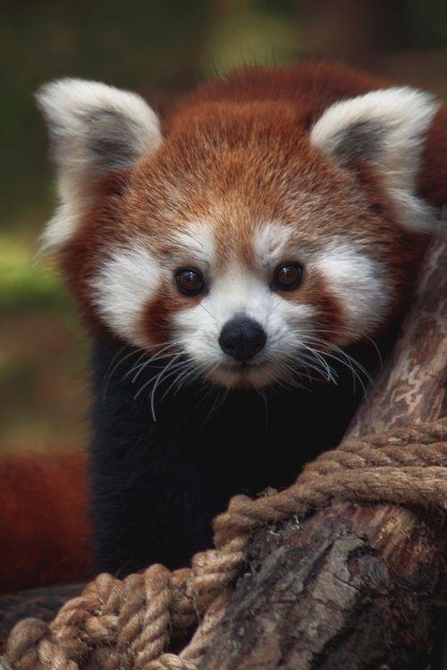 red panda it is said this animal is my spiritual animal ♥♥