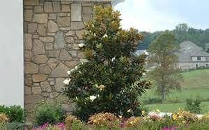 dwarf magnolia tree - Bing Images
